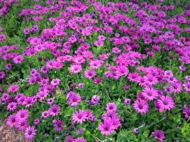 purole flowers