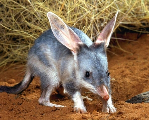 Bilby-for-story1