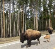 2 book bison & calf 19-may